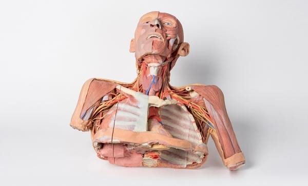 Kopf, Hals und Schulter mit Angiosomen | 3D Anatomie Serie | Erler ...